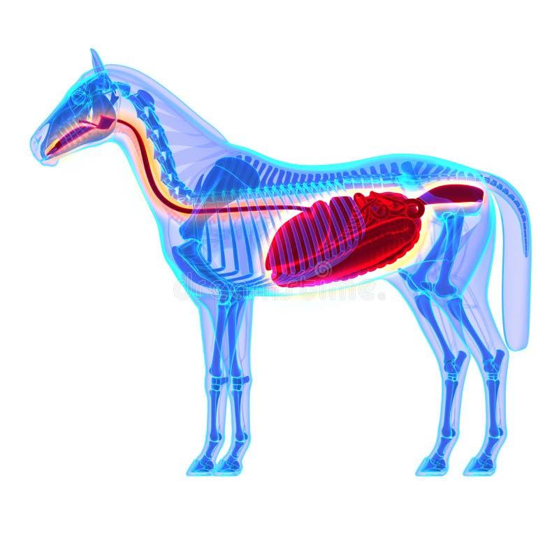 Sistema digestivo del caballo - anatomía del Equus del caballo - aislado en blanco stock de ilustración