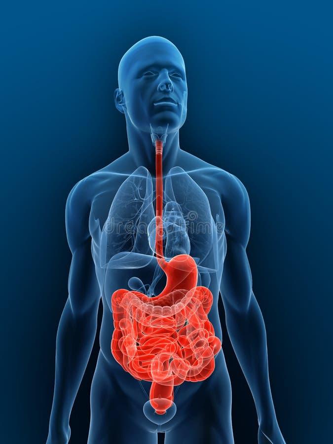Sistema digestivo destacado libre illustration