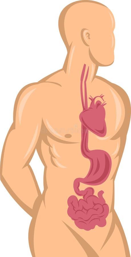 Sistema digestivo di anatomia del cuore royalty illustrazione gratis