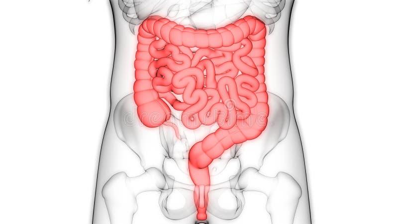 Sistema digestivo dos ?rg?os do corpo humano com anatomia grande e do intestino delgado ilustração royalty free