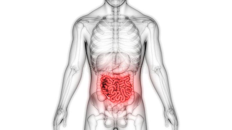 Sistema digestivo dos ?rg?os do corpo humano com anatomia grande e do intestino delgado ilustração do vetor