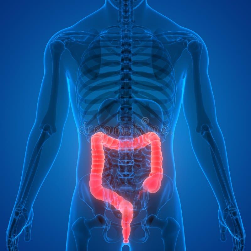 Sistema digestivo dos ?rg?os do corpo humano com anatomia do grande intestino ilustração stock