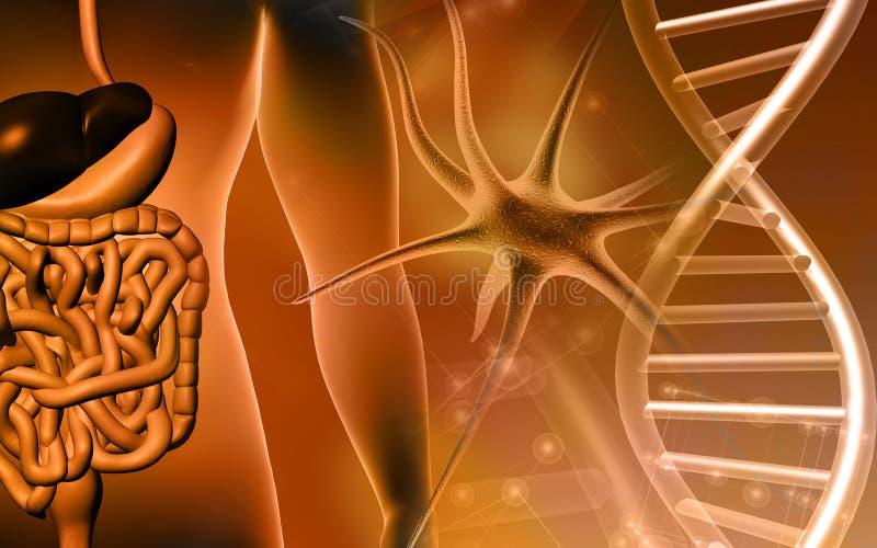 Sistema digestivo e DNA umani illustrazione di stock