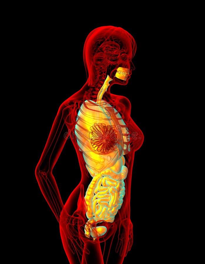 Sistema digestivo e sistema respiratório ilustração do vetor