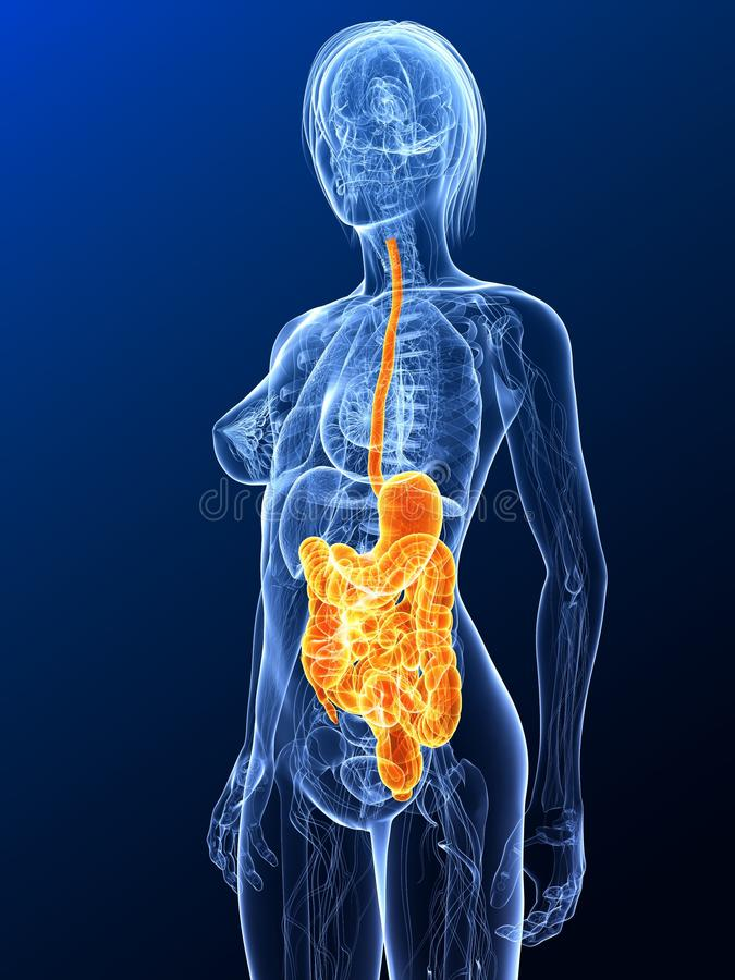 Sistema digestivo evidenziato royalty illustrazione gratis