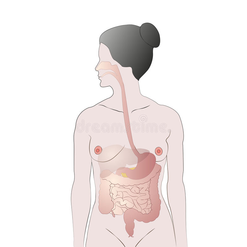 Sistema digestivo fêmea ilustração stock