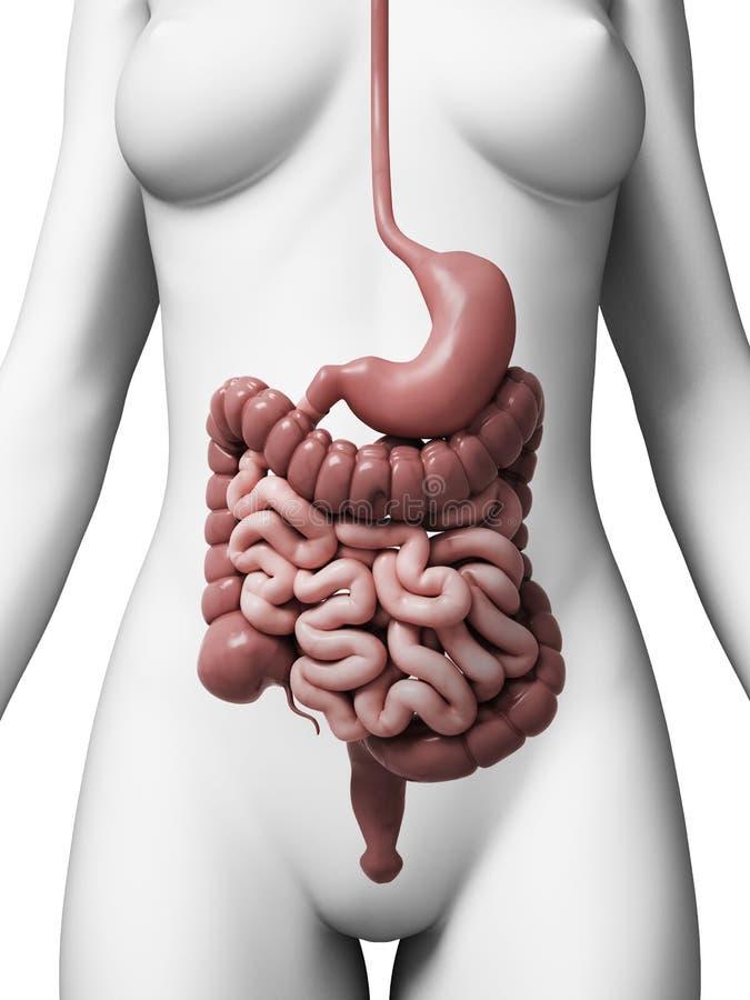 Perfecto Sistema Digestivo Femenina Componente - Imágenes de ...