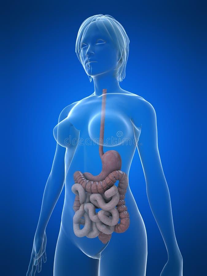 Sistema digestivo femminile illustrazione di stock