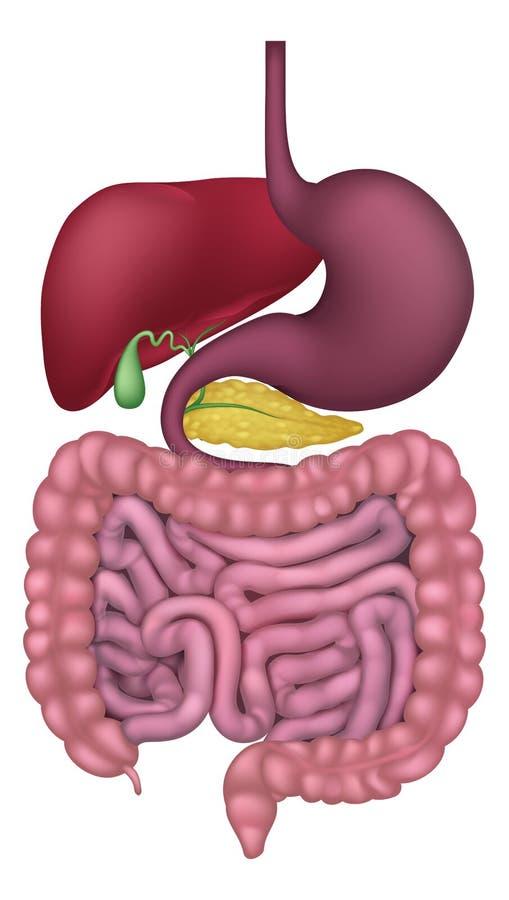 Sistema digestivo gastrintestinal humano ilustração do vetor