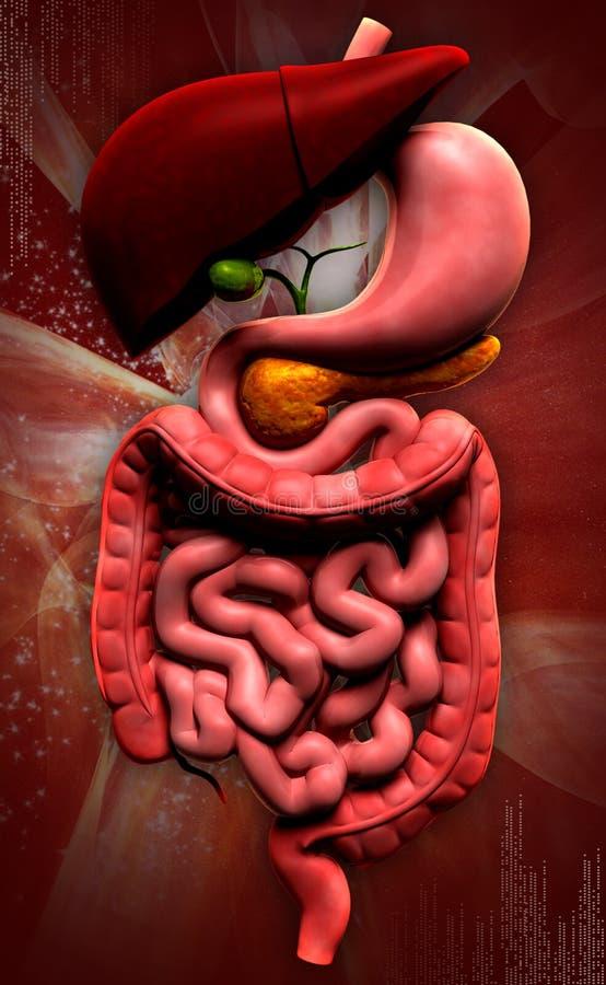 Sistema digestivo humano ilustração royalty free