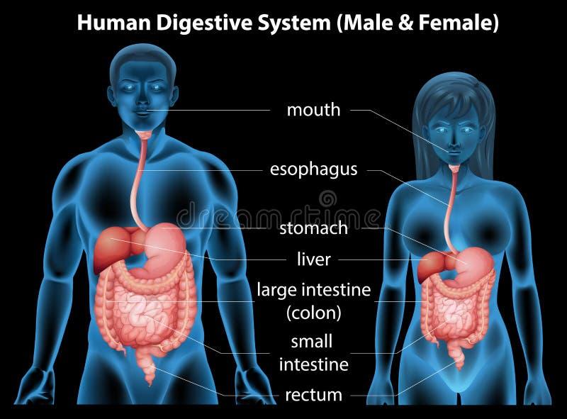 Sistema digestivo humano ilustración del vector