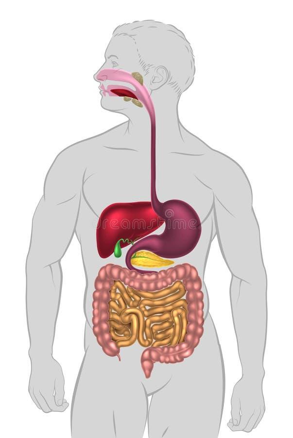 Sistema digestivo humano ilustração stock
