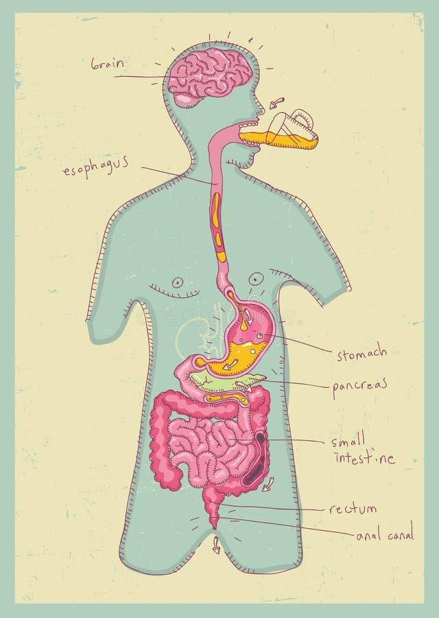 Sistema Digestivo Humano Del Ejemplo Del Vector Para Los Niños Stock ...