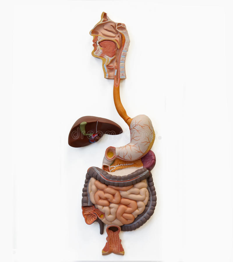 Sistema digestivo humano (extracción) fotos de archivo libres de regalías