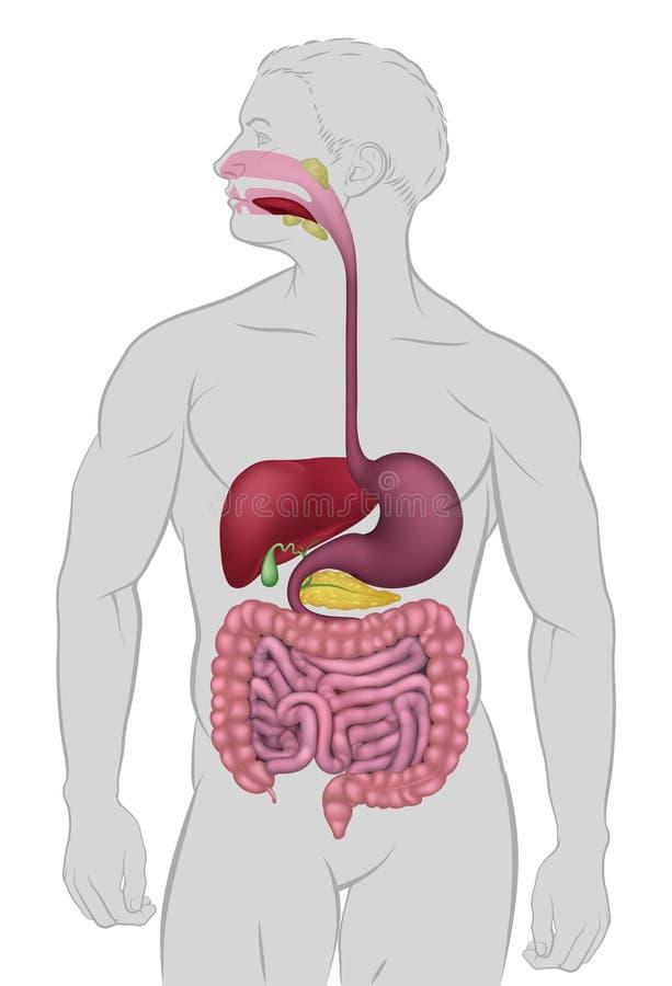Sistema digestivo humano gastrintestinal ilustração royalty free