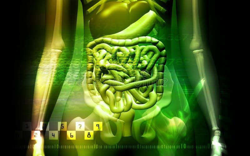 Sistema digestivo humano y Skelton stock de ilustración