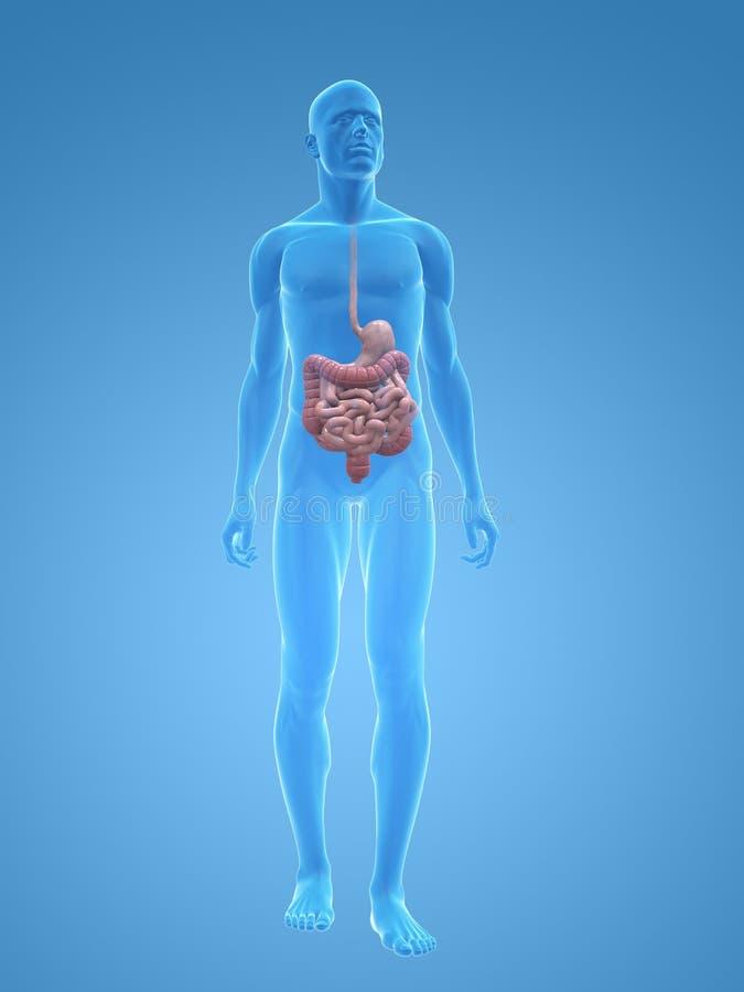 Sistema digestivo maschio illustrazione di stock