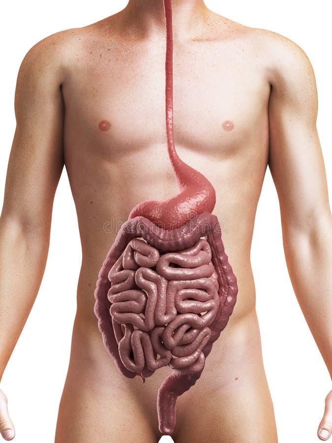 Sistema digestivo sano illustrazione vettoriale