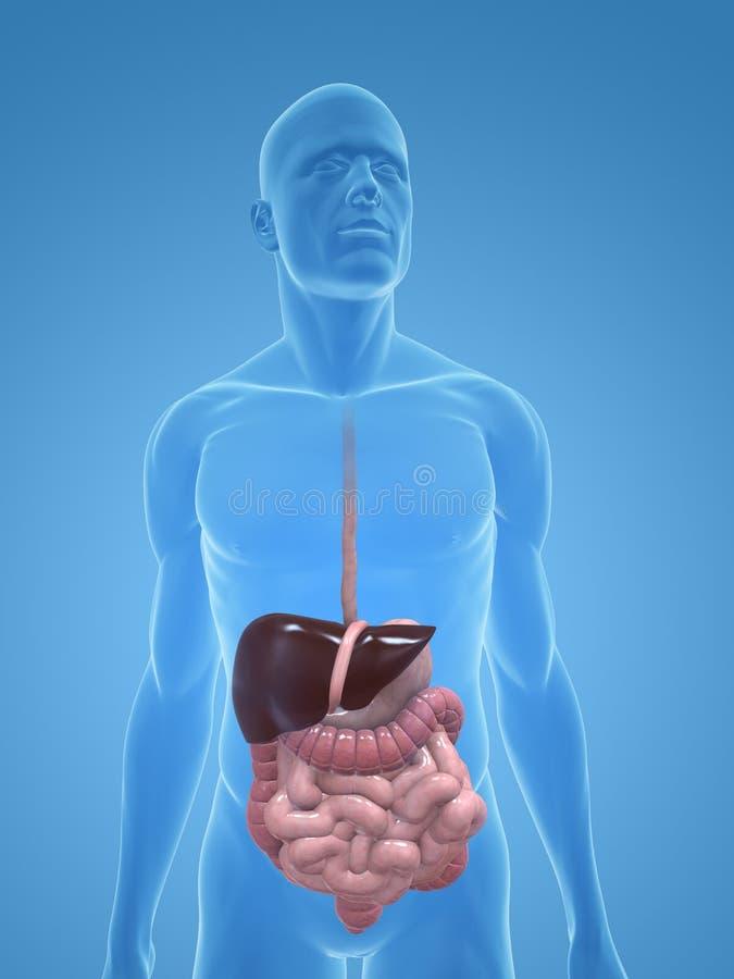 Sistema digestivo umano illustrazione di stock