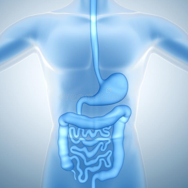 Sistema digestivo umano illustrazione vettoriale