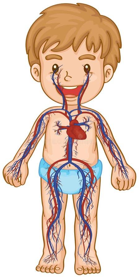 Sistema do sangue no corpo do menino ilustração royalty free