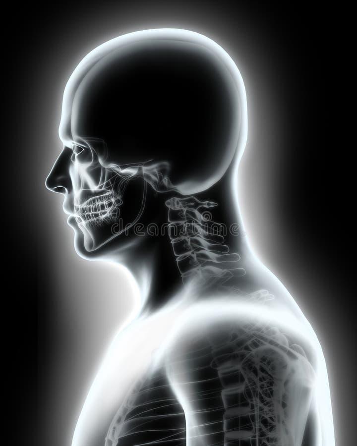 Sistema esquelético - ser humano de la parte superior de la radiografía stock de ilustración