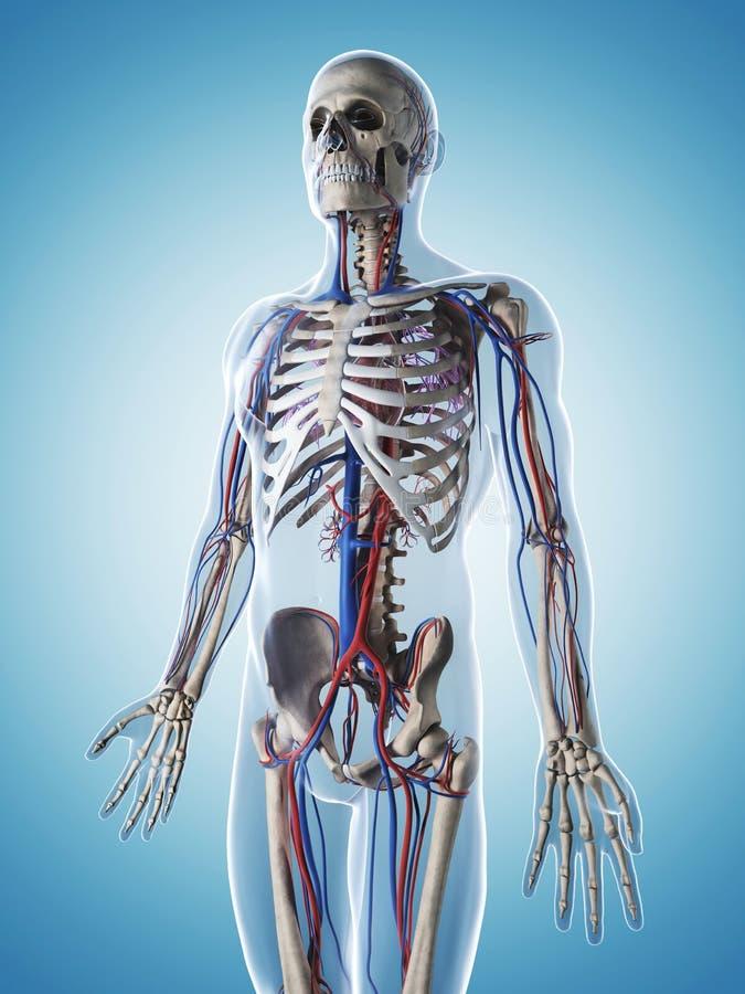 Sistema Esquelético Y Vascular Stock de ilustración - Ilustración de ...