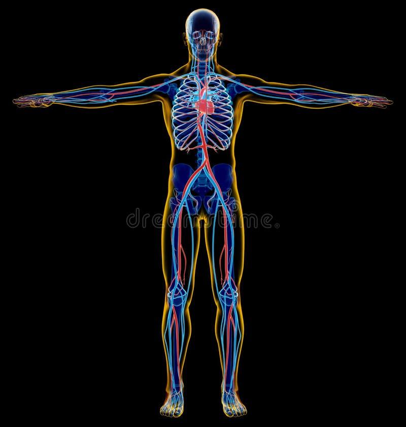 Sistema esqueletal e cardiovascular do homem Raio X ilustração do vetor