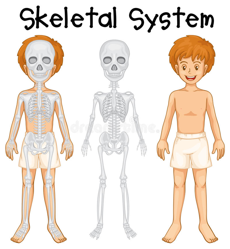 Sistema esqueletal no menino humano ilustração royalty free