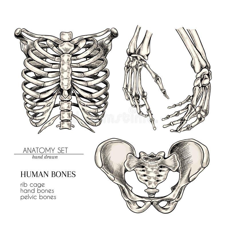 Sistema exhausto de la anatomía de la mano Partes del cuerpo humanas del vector, huesos Manos, caja torácica o ches, huesos pélvi stock de ilustración