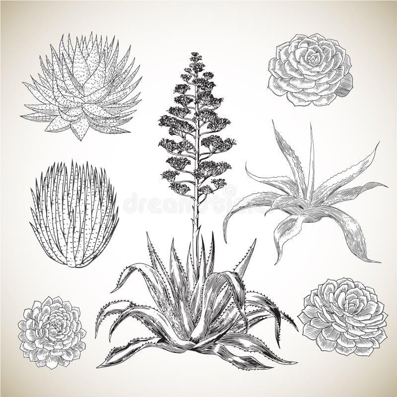 Sistema exhausto de los Succulents de la mano del vintage stock de ilustración