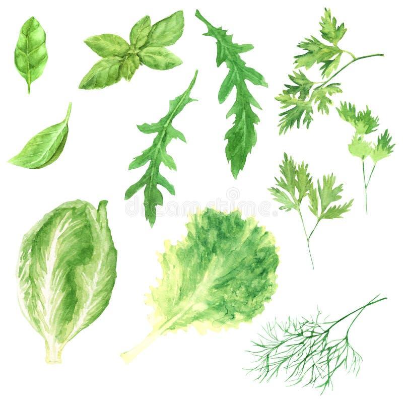 Sistema fresco de los verdes del ejemplo de la acuarela - lechuga, arugula, eneldo, hoja de la albahaca, rucola, perejil y col ri ilustración del vector