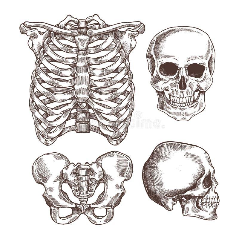 Sistema grabado esqueleto humano Caja torácica, cráneo Ilustración del vector stock de ilustración