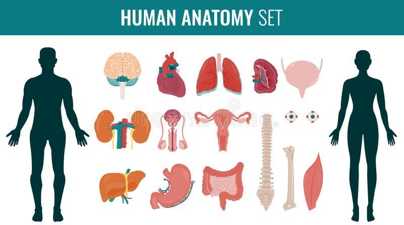 Sistema Humano De La Anatomía Del órgano Interno Vector Ilustración ...