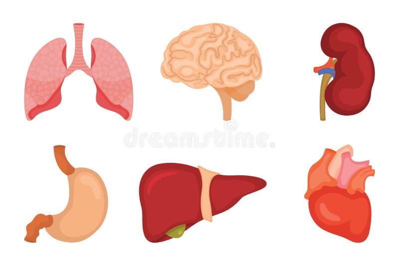 Sistema humano del icono de los órganos internos Vector el ejemplo en estilo de la historieta aislado en el fondo blanco ilustración del vector