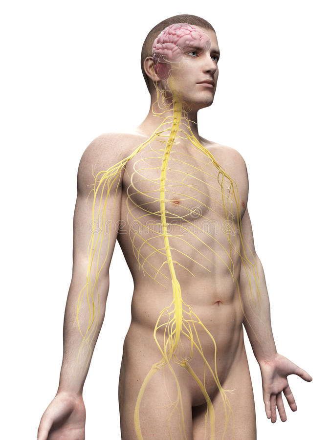Sistema humano del nervio stock de ilustración