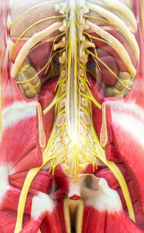 Sistema humano do corpo, o de esqueleto e o muscular imagens de stock