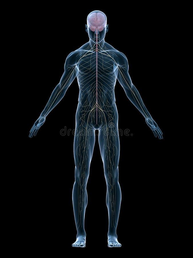 Sistema humano do nervo ilustração royalty free