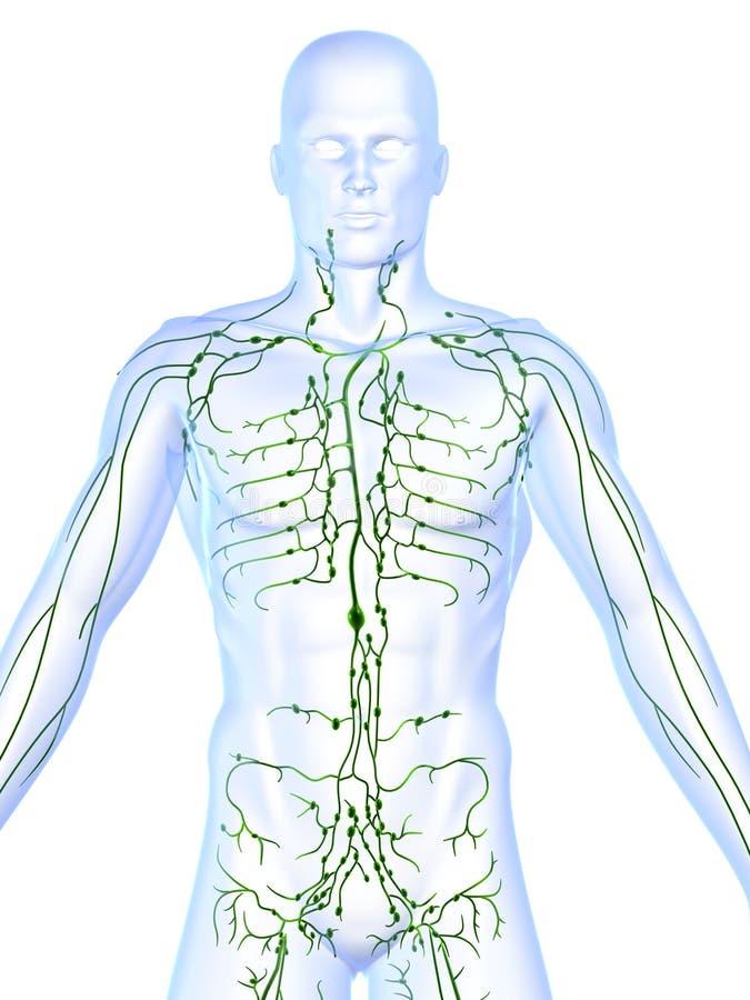 Sistema linfático stock de ilustración. Ilustración de cabeceo - 1454323