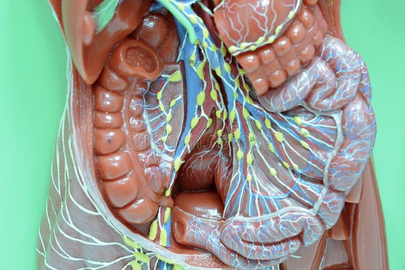 sistema linfático foto de archivo