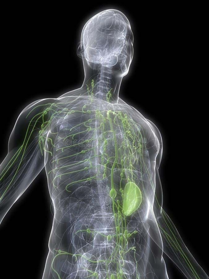 Sistema linfático ilustração do vetor