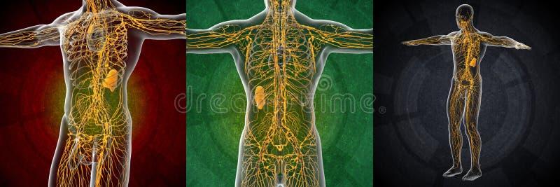 sistema linfático ilustración del vector
