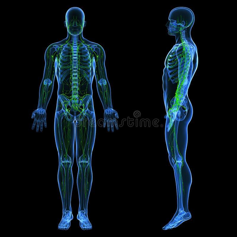 Sistema linfático de acción indiferente masculina ilustración del vector
