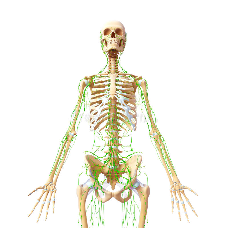 Sistema linfático de cuerpo completo masculino libre illustration