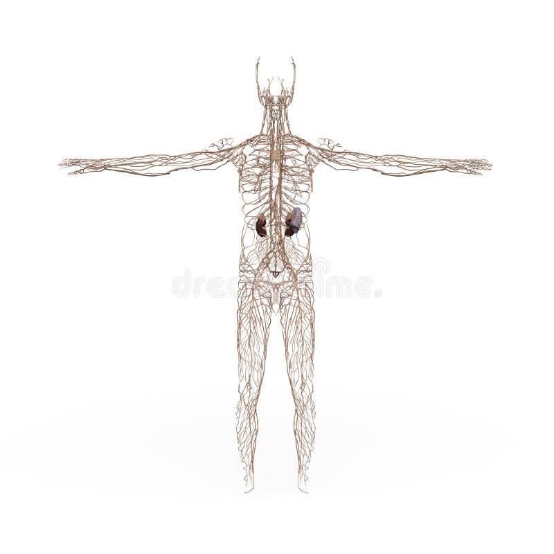 Sistema linfático de la anatomía masculina stock de ilustración