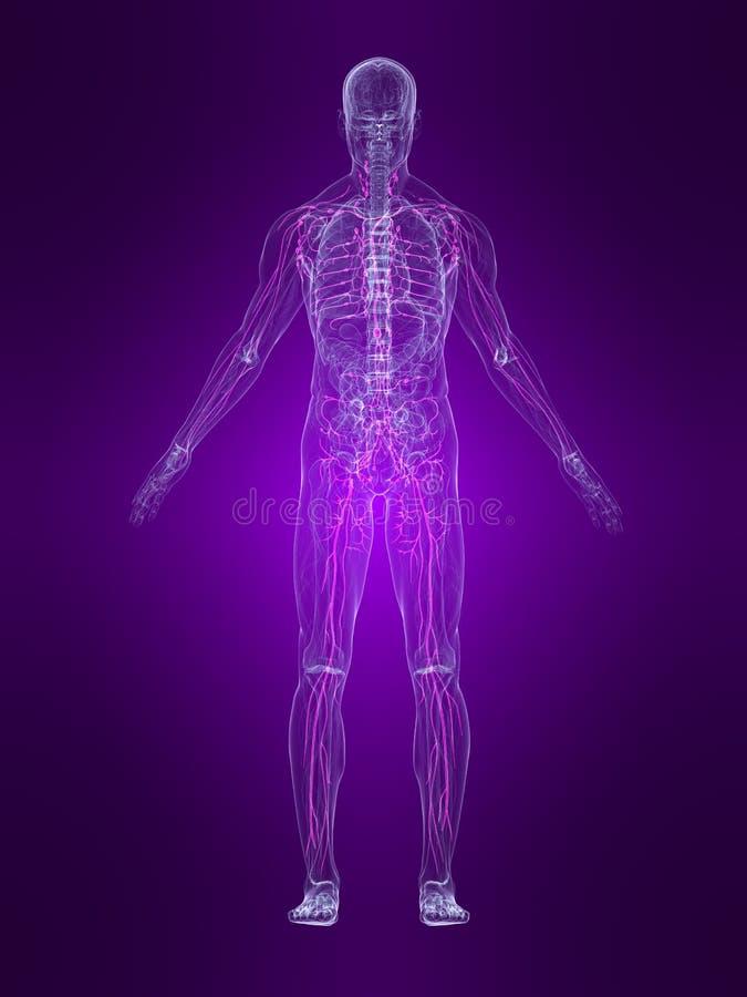 Sistema linfático destacado ilustração do vetor