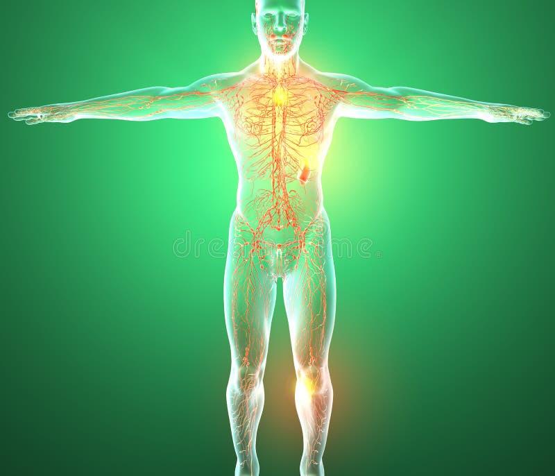 Sistema linfático, el cuerpo humano, hombre, libre illustration