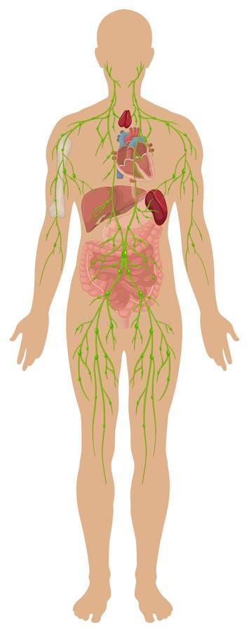 Sistema linfático en cuerpo humano stock de ilustración