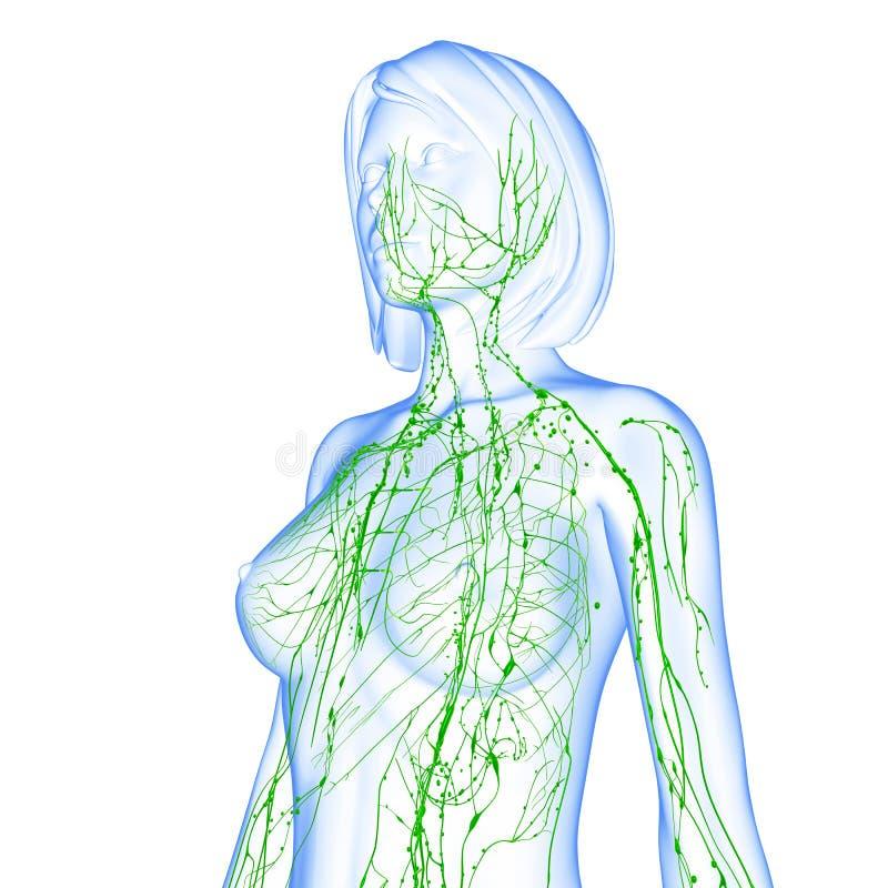 Sistema linfático femenino stock de ilustración. Ilustración de nodo ...
