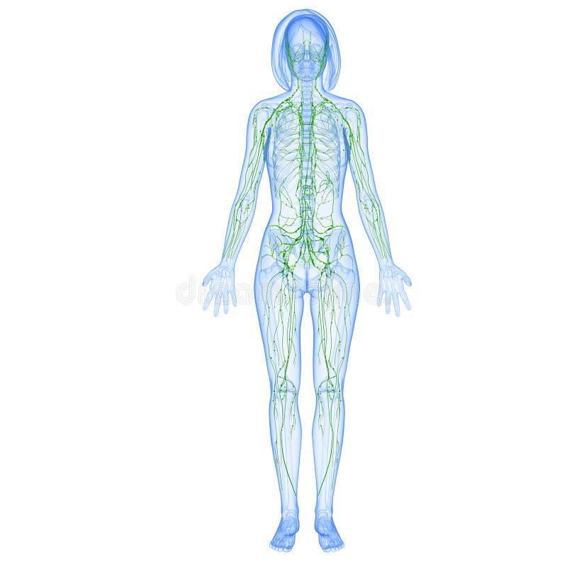 Sistema linfático femenino stock de ilustración. Ilustración de ...